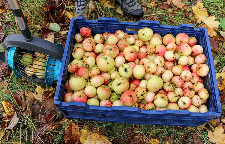 Yhteensä laatikoihin kertyy omenia päivän mittaan noin 500-1000 kiloa.